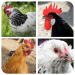 Download Hen matching game 1.0 APK For Android